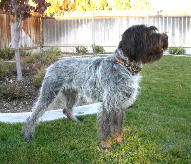 Wirehaired Pointing Griffon Owners from Ear Mountain at Choteau, Montana