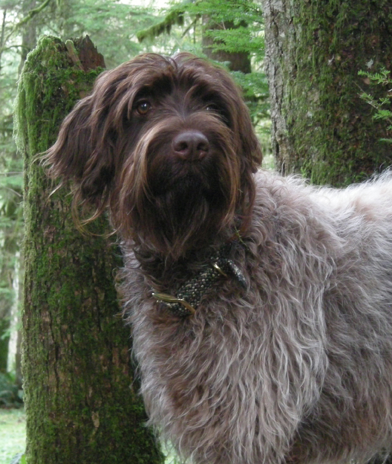 Wirehaired Pointing Griffon Puppies from Ear Mountain Griffons ...